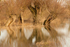 Flooded Willow Tree Royalty Free Stock Images