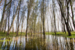 Flooded wods. Wide shot of flooded forest by Danube river in Serbia Royalty Free Stock Photography