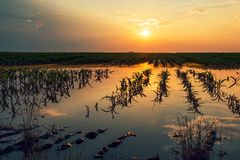 Flooded young corn field plantation with damaged crops in sunset. After severe rainy season that will impact the yield of cultivated plant stock photography