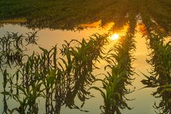 Flooded young corn field plantation with damaged crops in sunset. After severe rainy season that will impact the yield of cultivated plant royalty free stock images