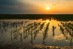 Flooded young corn field plantation with damaged crops in sunset. After severe rainy season that will impact the yield of cultivated plant royalty free stock photo