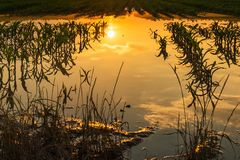 Flooded young corn field plantation with damaged crops in sunset. After severe rainy season that will impact the yield of cultivated plant royalty free stock photos