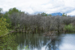 Flooding along the Columbia River. Near annual flooding near the banks of the Columbia River has killed trees leaving bare branches to reflect in the standing Stock Photography