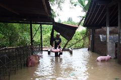 Flooding in the city of Solo. A breeder save pig when swept away the flood in Solo, Central Java, Indonesia. Half pig are in livestock  his dead and washed out Stock Photography