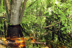 Flooding on forest floor Stock Images