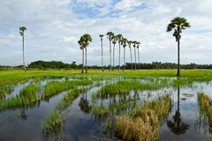 Flooding on rice field Stock Photography