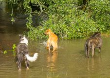 Dogs observing water left behind by hurricane irma at a horse farm in ocala Stock Photos