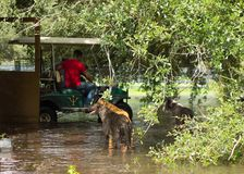 Dogs observing a worker rescuing hens from a flooded chicken coop in ocala Stock Image