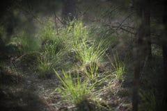 Floodlit трава в лесе Стоковое Изображение