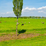 Floodplain. Cows Grazing in the Floodplain of the Rhine, Netherlands stock image