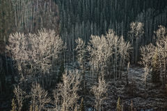 Floodplain. Forest dominated by cottonwood stock photography