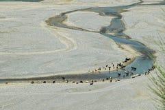 Floodplain mit Fluss und mit dem Weiden lassen der rinderartiger Tiere Stockbild