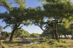 Floodplain by the Zambezi River. In the wet season Stock Photos