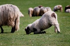 Funny lamb grazing and resting in the same time royalty free stock photography