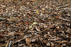 Floor of brown leaves Royalty Free Stock Photography