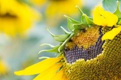 Floor sunflower seed is still Stock Photography