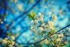 Flooral spring background blossom of cherry tree Stock Photos