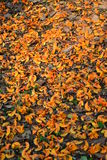 Floore arancio Fotografie Stock