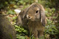 Floppy bunny. A lovely lop eared bunny eating grass Stock Images