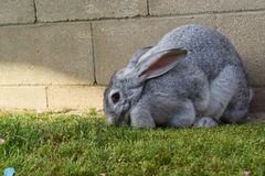 Floppy ear gray furry bunny looking for Easter candy. Furry gray bunny rabbit gleans the yard for edible treats left by kids from Easter Stock Photo