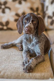 Floppy eared German Shorthaired Pointer sits on sofa. A loveley dog on sofa German Shorthaired Pointer Stock Photo