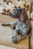 Floppy eared German Shorthaired Pointer sits on sofa. A loveley dog on sofa German Shorthaired Pointer Stock Photography