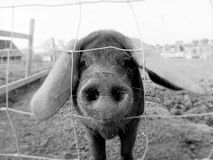 Floppy Eared pig in black and white. A floppy eared pig  peering through a wire fence in black and white Royalty Free Stock Images