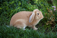 Floppy-eared rabbit. Cinnamon brown bunny rabbit with floppy ears royalty free stock images