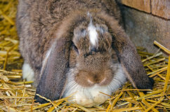 Floppy eared rabbit Stock Photography