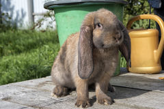 A floppy eared red rabbit. Is sitting on the wooden planks in front of a green bucket and a yellow watering can Stock Photography