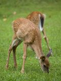 Floppy ears. Whitetail deer fawn with its ear moving while eating stock photo