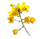 Flor à terra amarela das orquídeas isolada no branco Imagem de Stock