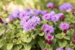 Flor à terra pequena do houstonianum do Ageratum com as flores violetas roxas fotos de stock royalty free