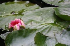 Flor - água Lilly Imagem de Stock