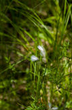 Flor ártica da grama fotografia de stock royalty free