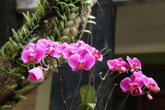 A flor é chamada amabilis do Phalaenopsis da orquídea foto de stock royalty free