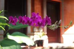 A flor é chamada amabilis do Phalaenopsis da orquídea fotos de stock
