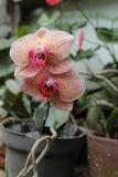 A flor é chamada amabilis do Phalaenopsis da orquídea, versão 2 foto de stock