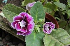 A flor é chamada gloxinia foto de stock