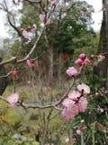 Flor 'Ume 'del ciruelo en Fushimi Inari Taisha imágenes de archivo libres de regalías