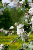 Flor 007 del manzano Imágenes de archivo libres de regalías