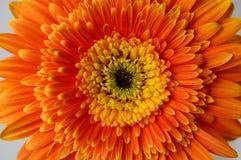 Flor 2 de la margarita Fotografía de archivo