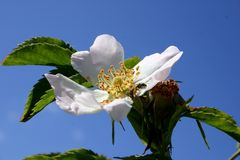Flor 21 Foto de Stock