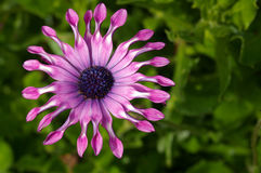 Flor 24 do jardim Imagens de Stock Royalty Free