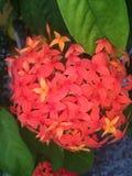 flor Royalty-vrije Stock Afbeeldingen