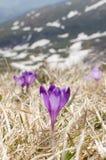 Flor, açafrão, grama e neve do céu Imagem de Stock