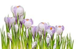 Flor-açafrões da mola de Firat Fotografia de Stock
