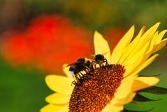 flor, abeja, abeja de la miel, amarillo, néctar, polen, abejorro Imagen de archivo