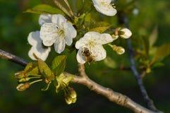 Flor, abelha, inseto, Fotografia de Stock Royalty Free