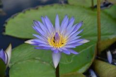 Flor & abelhas violetas de lótus Foto de Stock